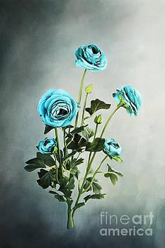 Blue Ranunculus by Stephanie Frey
