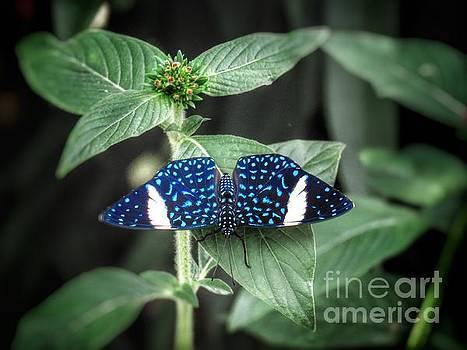 Blue speckled butterfly by Rrrose Pix
