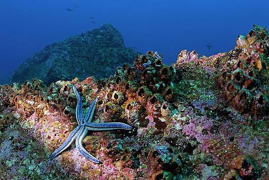 Sami Sarkis - Blue starfish on rock