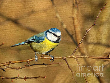 Blue Tit by Lisa Cockrell