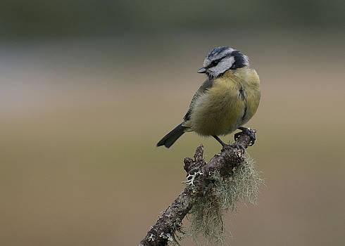 Blue Tit on Branch by Sue Fulton