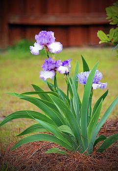 Blue Violet Irises  by Cynthia Guinn