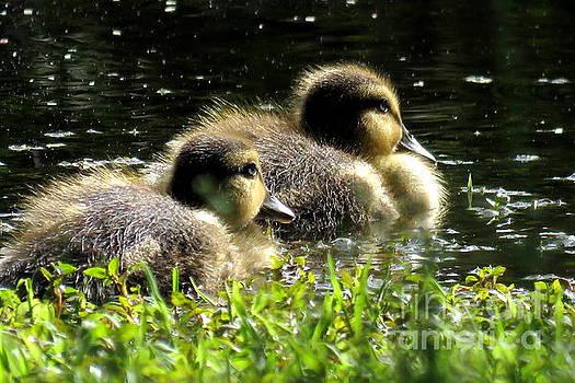 Blue-Winged Teal Ducklings by Selma Glunn