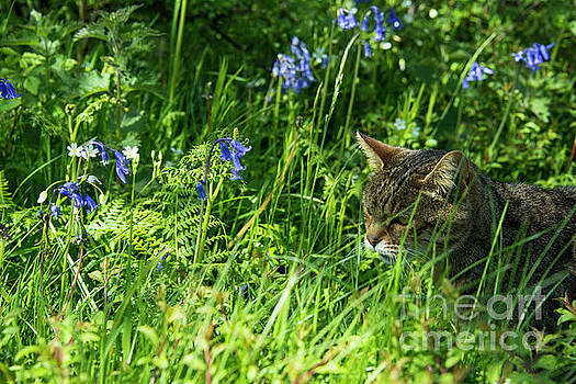 Bluebell Feline  by Rob Hawkins