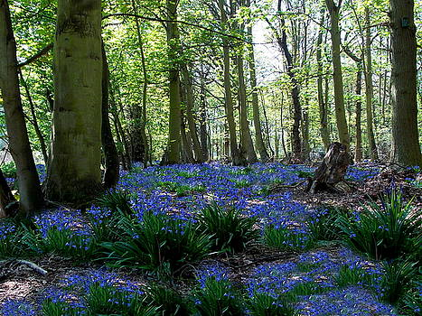 Bluebell woods by Chris Cox