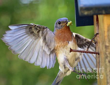 Bluebird 713162 by Douglas Stucky