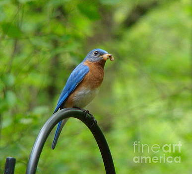 Bluebird catches worm by Rand Herron