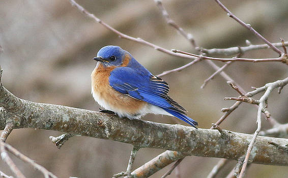 Bluebird of Happiness by Debbie Parker