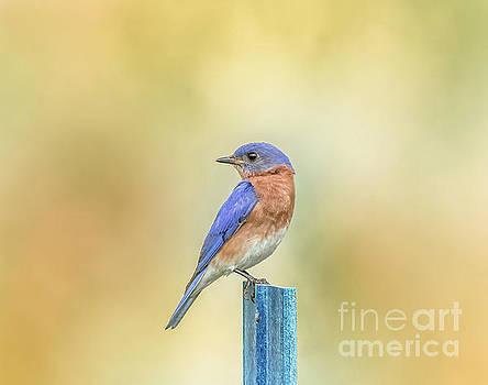 Bluebird On Blue Stick by Robert Frederick