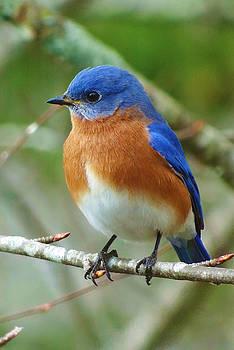 Bluebird On Branch by Crystal Joy Photography