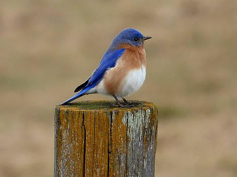 Bluebird by Robert Geary