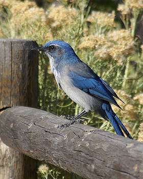 Bluebird Visit by D Winston