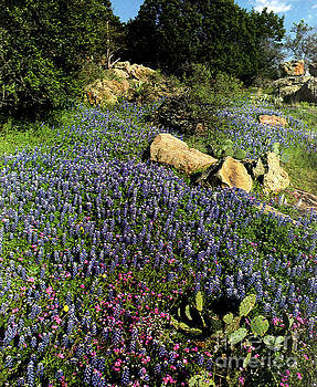 Bluebonnets and Cactuses 1 by Ruth Housley