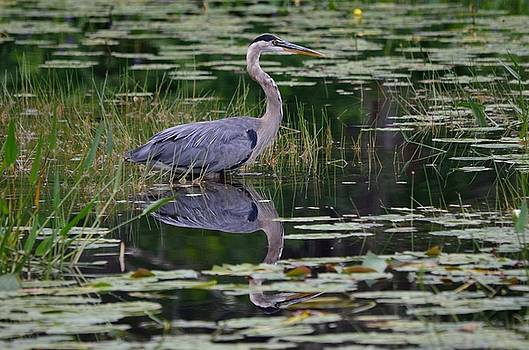 Blue's Image- Great Blue Heron by David Porteus