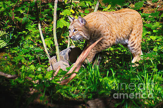 Bobcat at water's edge by Ansel Price