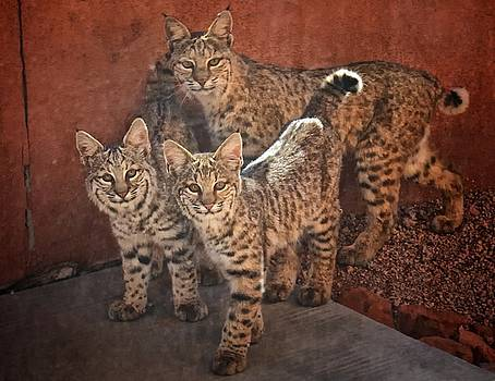 Bobcat Family by Larry Pollock