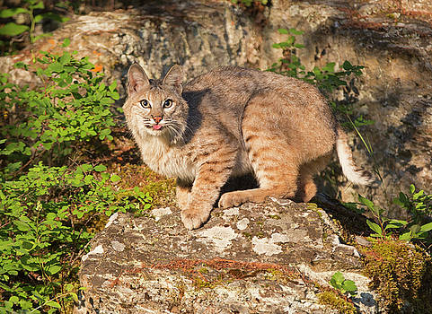 Bobcat on rock with tongue out by Jack Nevitt