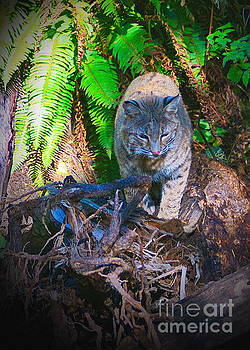 Bobcat on the Hunt by Ansel Price