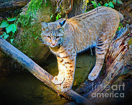 Bobcat Scanning the Water by Ansel Price