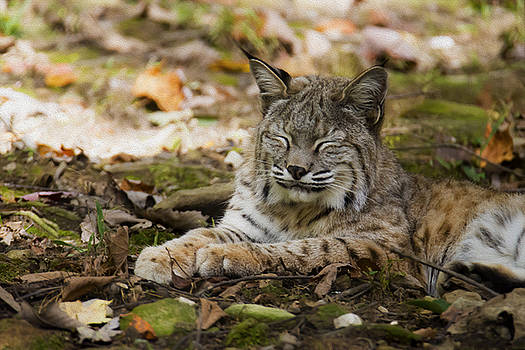Bobcat by Tracy Winter