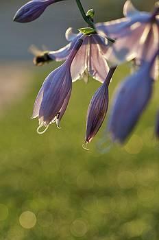 Bokeh Flowers by Nikki McInnes