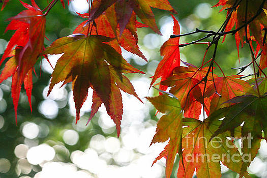 Bokeh Maples by Tracy  Hall
