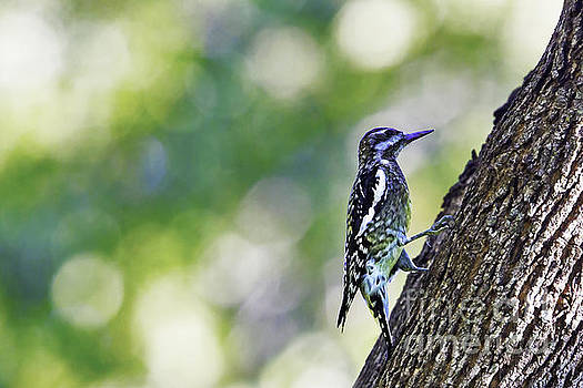 Bokeh with Sapsucker by Gary Holmes