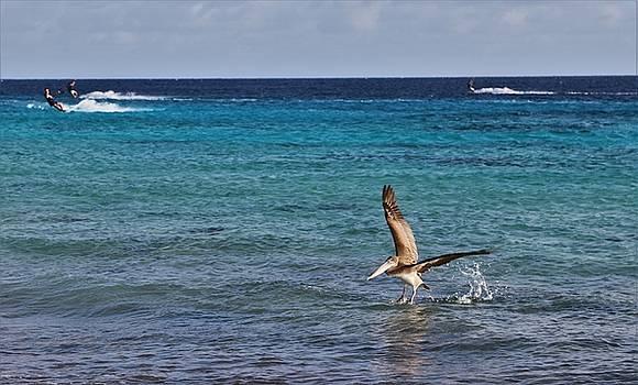 Bonaire Pelican by Jennifer Ansier