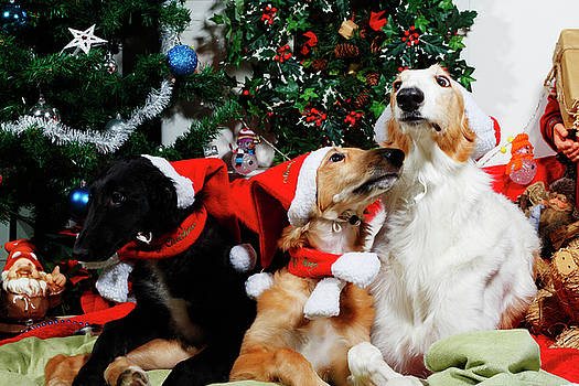 Borzoi Hounds Dressed As Father Christmas by Christian Lagereek