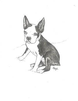 Boston Terrier by Carol Neal