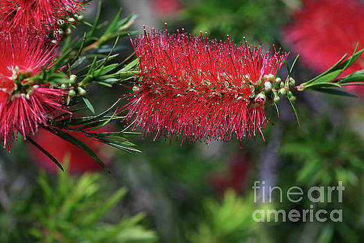 Bottle Brush Plants by Tracy Hall