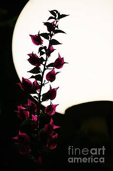 Bougainvillea by Lamplight by Craig Wood