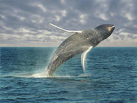 Breaching Whale by Rod Kaye