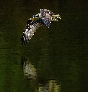 Bright Osprey by Jerry Cahill