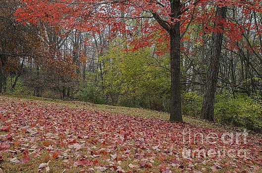 Bright Red Maple Tree  by Tamara Becker