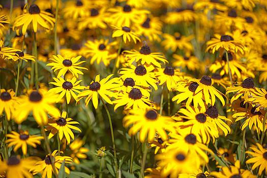 Bright Yellow Daisies  by Matthew Bamberg