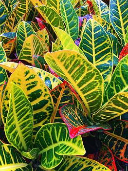 Brilliant Crotons by Kay Gilley