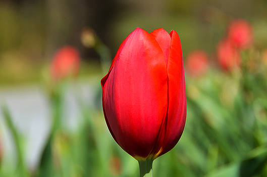 Brilliant Red Tulip by Claire Turner