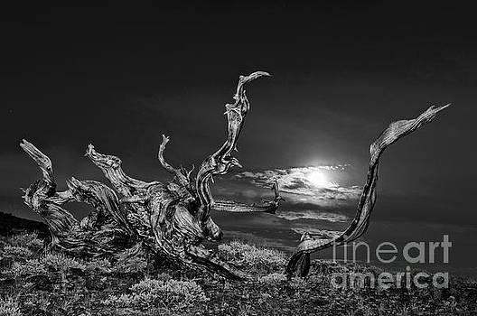 Jamie Pham - Bristlecone Pine and the Moon