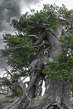Christine Till - Bristlecone Pine tree on the rim of Crater Lake - Oregon