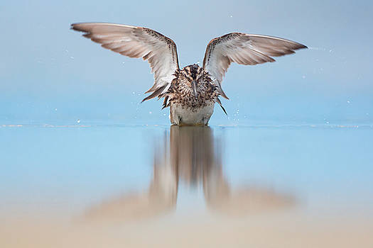 Broad-billed sandpiper by Sergey Ryzhkov