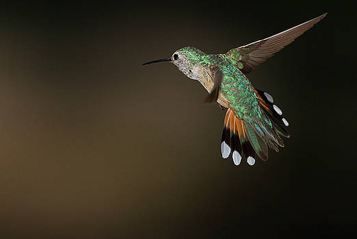 Broad tailed Coming in for a landing  by Ruth Jolly