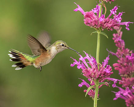 Broad-tailed Hummingbird Tail Flair by Lois Lake