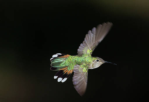Broad tailed winging it by Ruth Jolly