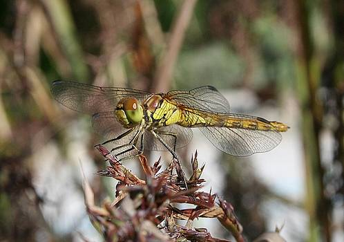 Tracey Harrington-Simpson - Brown Dragonfly On Husks With Garden Background