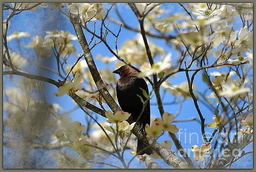 Brown-headed Cowbird by Brenda Bostic