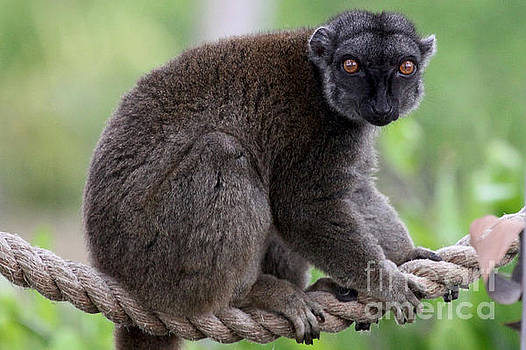 Brown Lemur by Meg Rousher