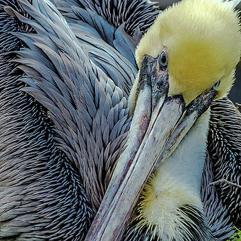 Brown Pelican by Bill Gallagher