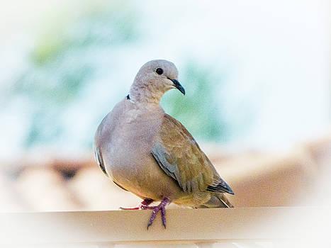 Eurasian Collared Dove by Kimo Fernandez