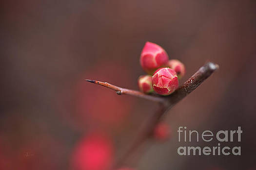 Bud Of The Flowering Quince by Joy Watson